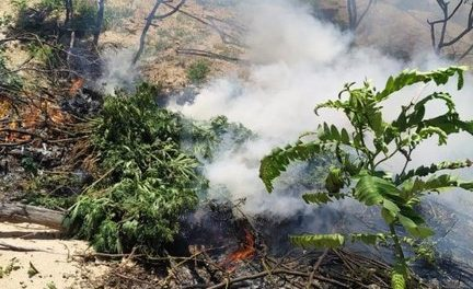 Operação da Polícia Federal erradica 45 mil pés de maconha na Bahia e Pernambuco