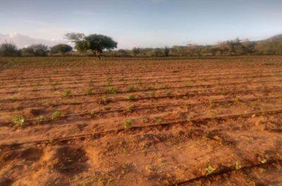 Polícia descobre plantação com 50 mil pés de maconha