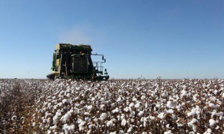 Colheita do algodão na Bahia este ano deve chegar a 520.363 toneladas